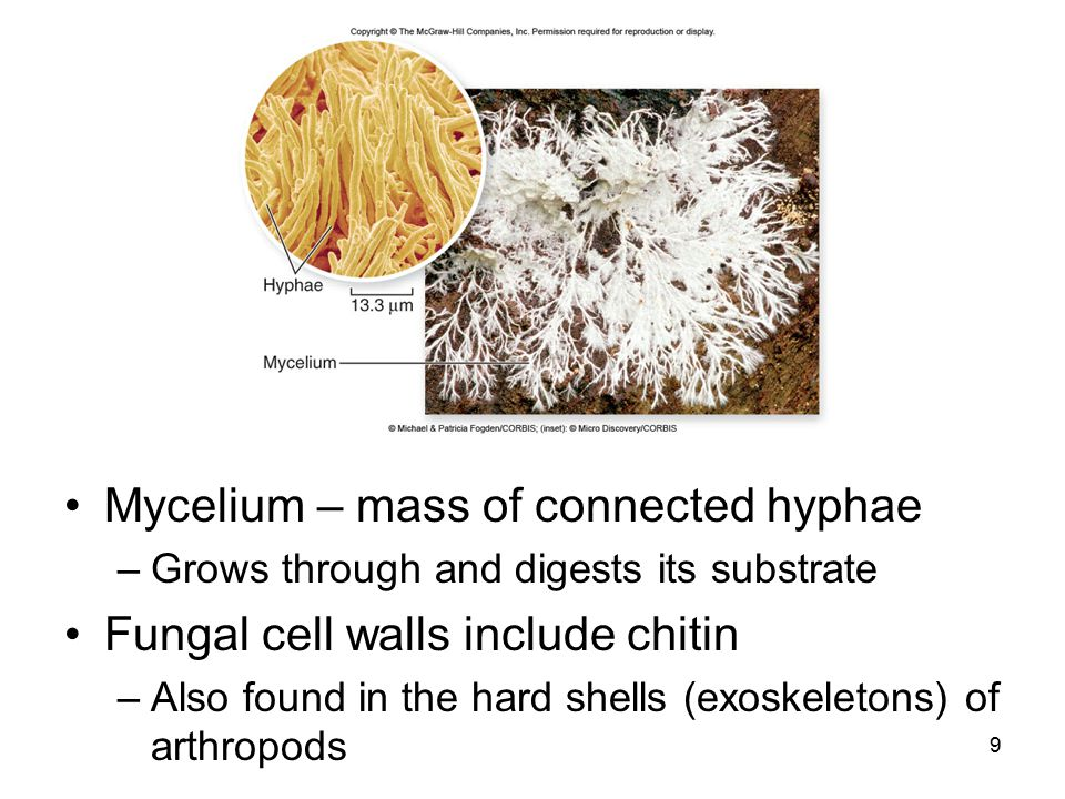 Mycelium – mass of connected hyphae Fungal cell walls include chitin