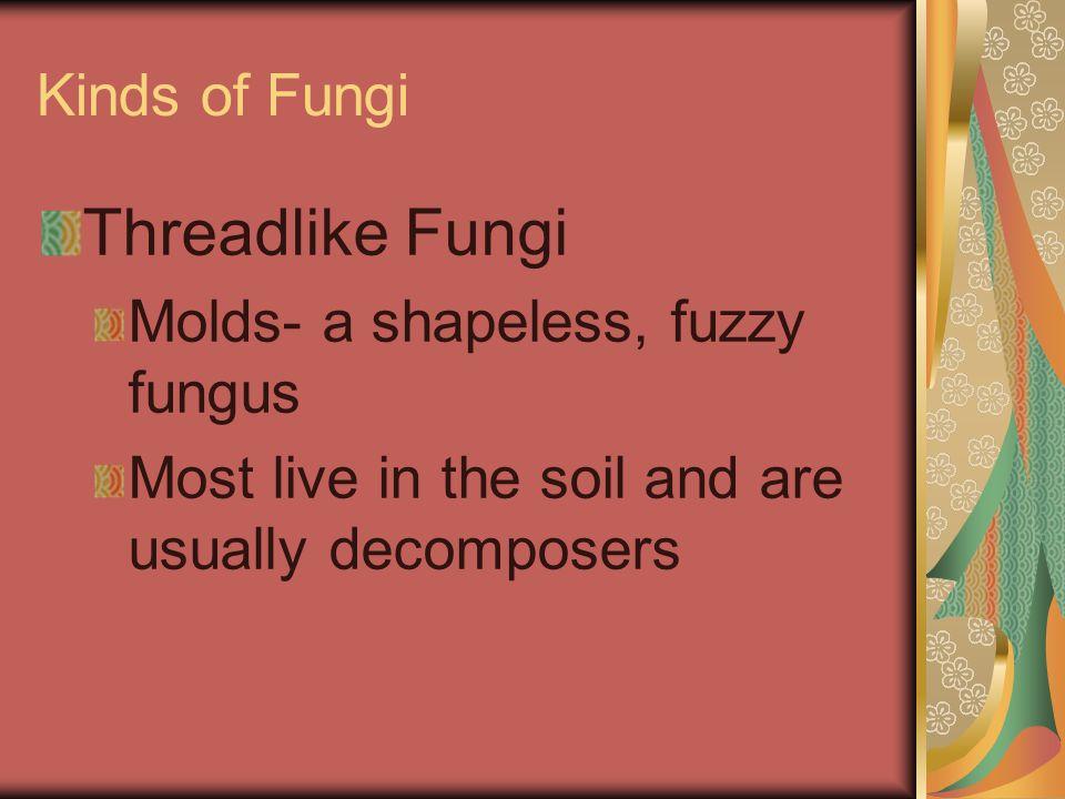 Threadlike Fungi Kinds of Fungi Molds- a shapeless, fuzzy fungus