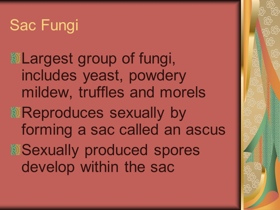 Sac Fungi Largest group of fungi, includes yeast, powdery mildew, truffles and morels. Reproduces sexually by forming a sac called an ascus.