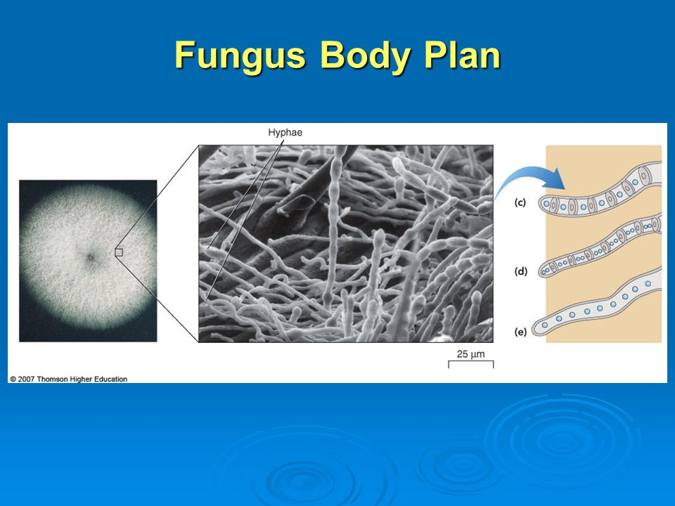 Fungus Body Plan