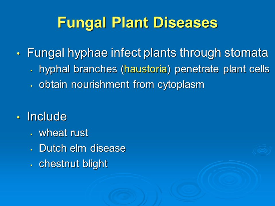 Fungal Plant Diseases Fungal hyphae infect plants through stomata