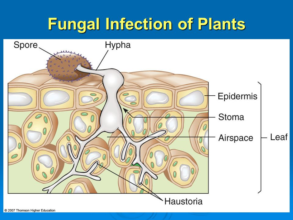Fungal Infection of Plants