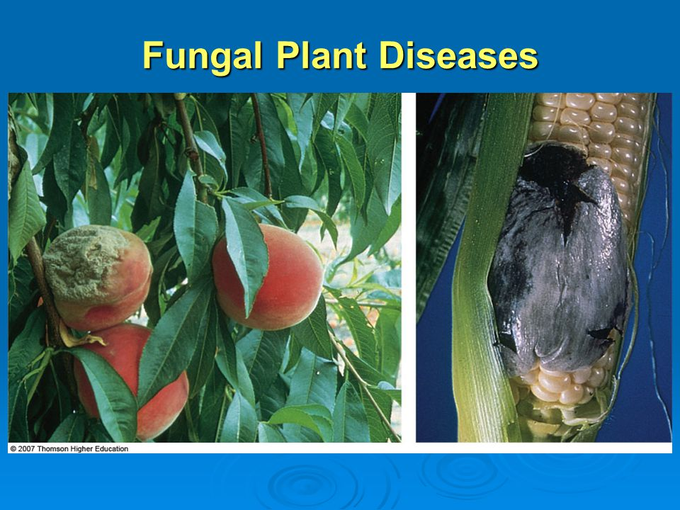 Fungal Plant Diseases