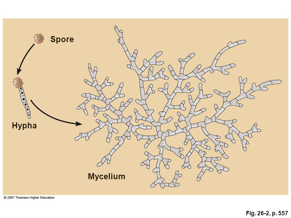 Spore Hypha Mycelium Fig. 26-2, p. 557