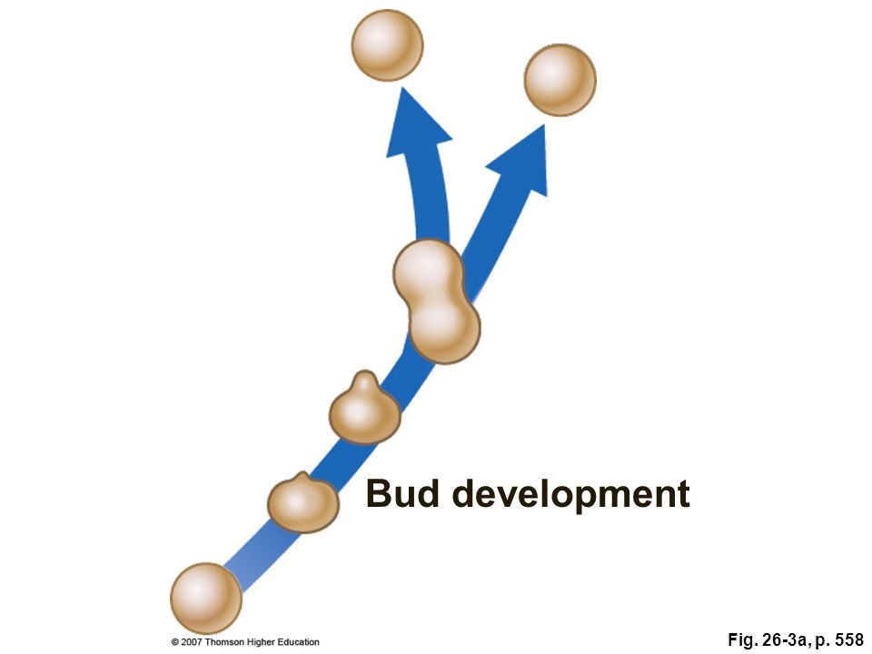 Bud development Fig. 26-3a, p. 558