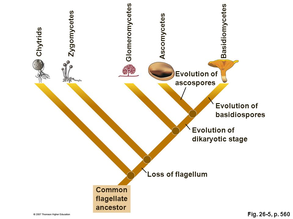 Evolution of ascospores