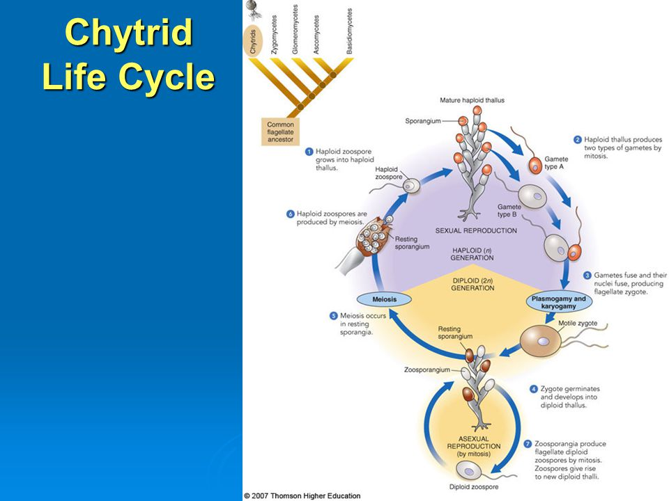 Chytrid Life Cycle