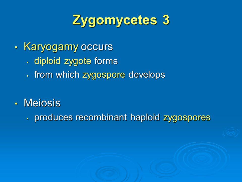Zygomycetes 3 Karyogamy occurs Meiosis diploid zygote forms