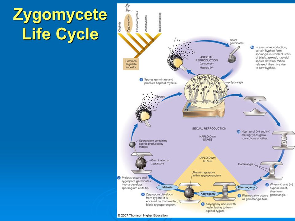 Zygomycete Life Cycle