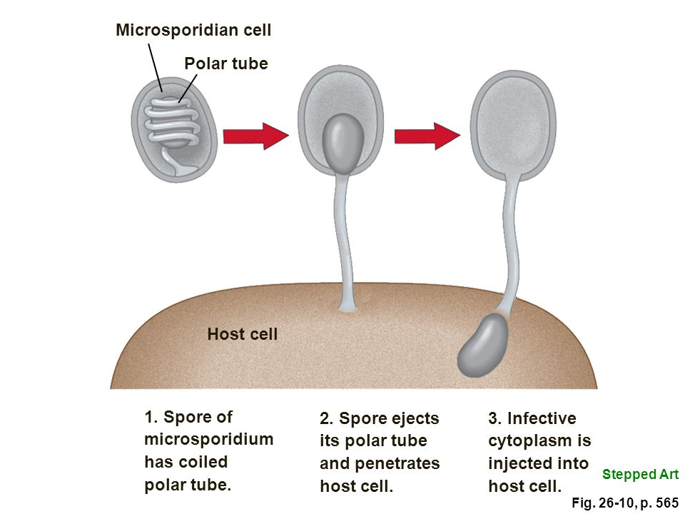 1. Spore of microsporidium has coiled