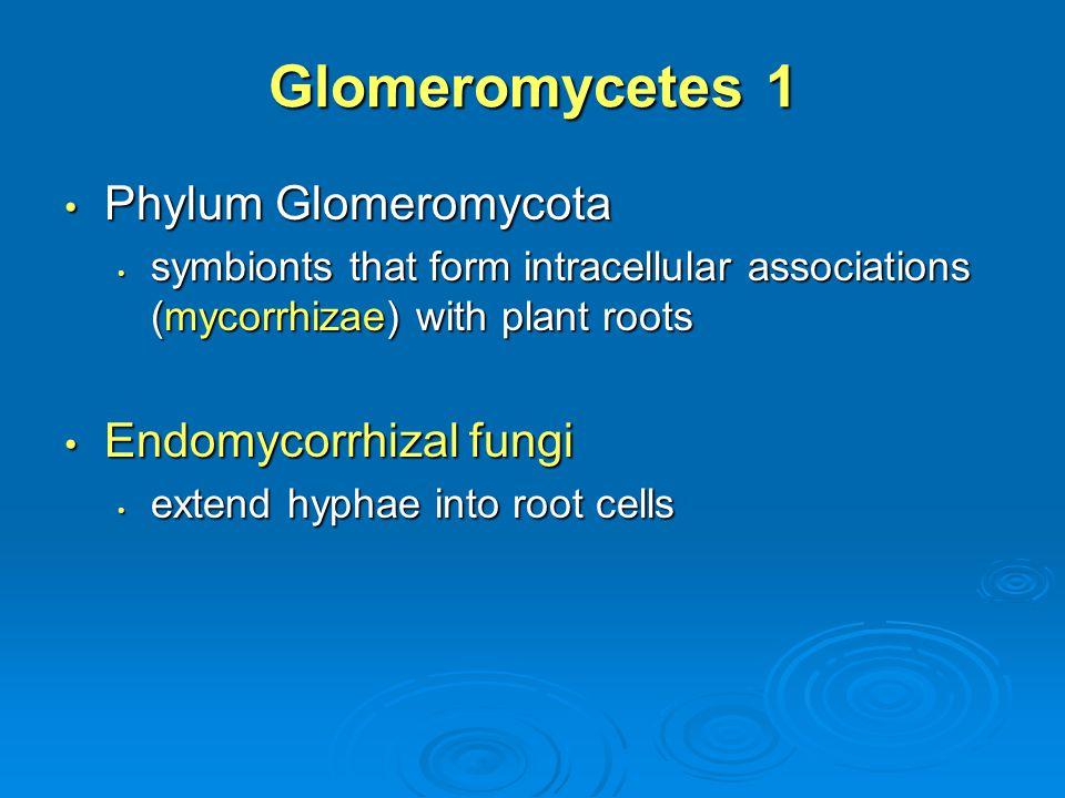 Glomeromycetes 1 Phylum Glomeromycota Endomycorrhizal fungi