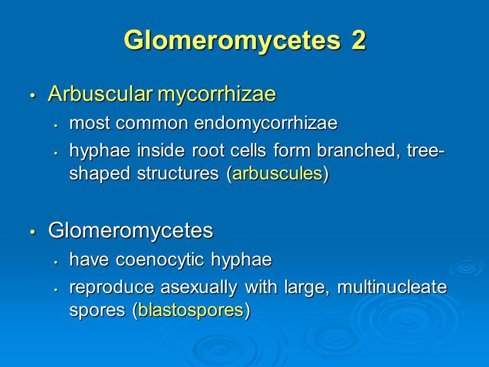 Glomeromycetes 2 Arbuscular mycorrhizae Glomeromycetes