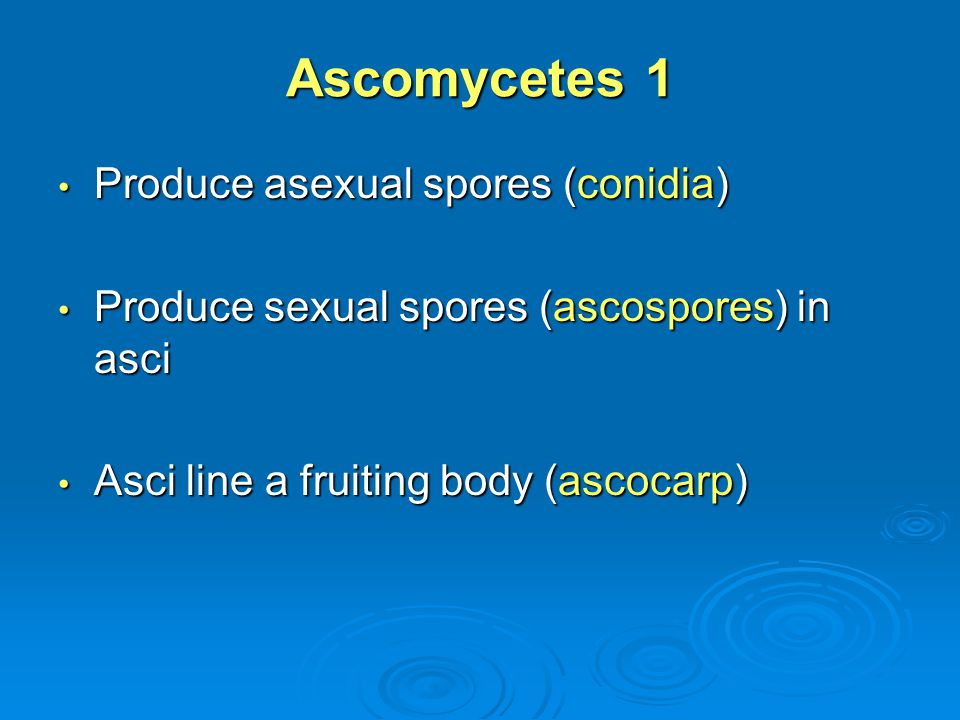 Ascomycetes 1 Produce asexual spores (conidia)