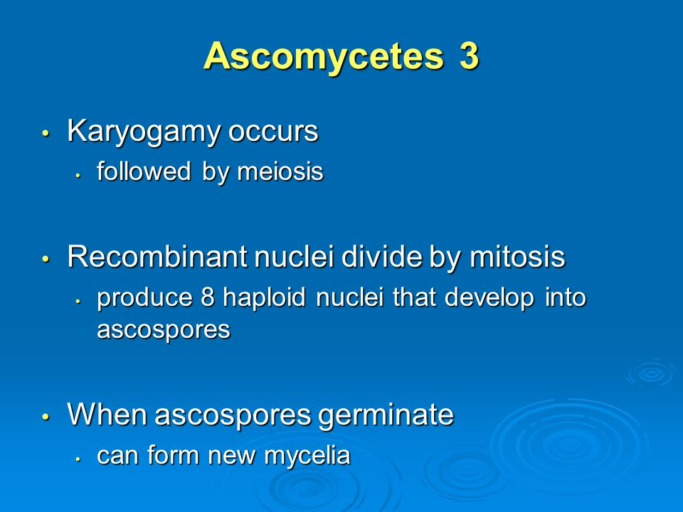 Ascomycetes 3 Karyogamy occurs Recombinant nuclei divide by mitosis