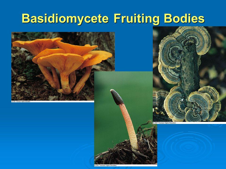 Basidiomycete Fruiting Bodies