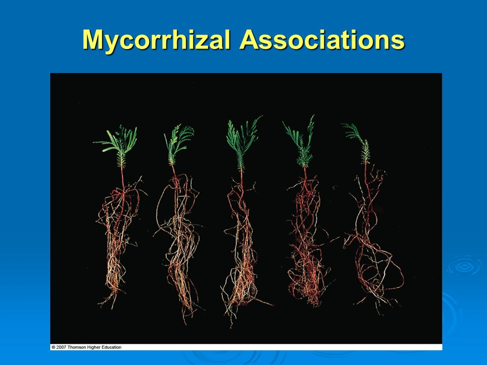 Mycorrhizal Associations