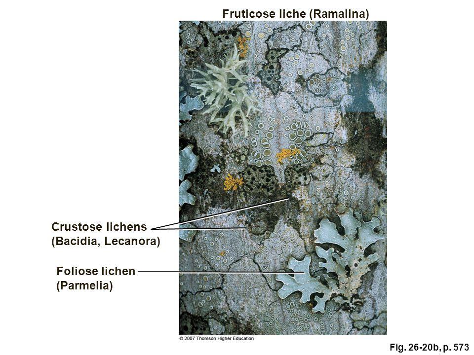 Fruticose liche (Ramalina)