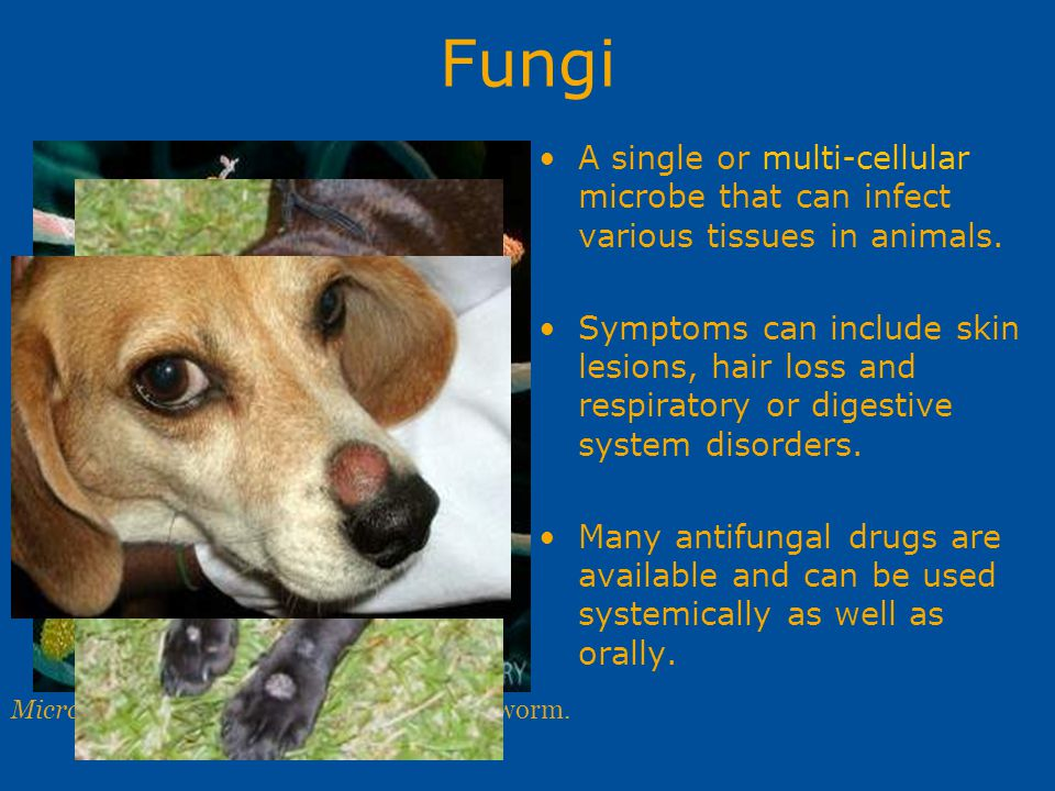 Fungi A single or multi-cellular microbe that can infect various tissues in animals.