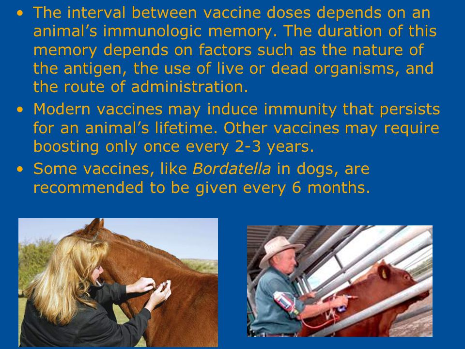 The interval between vaccine doses depends on an animal's immunologic memory. The duration of this memory depends on factors such as the nature of the antigen, the use of live or dead organisms, and the route of administration.