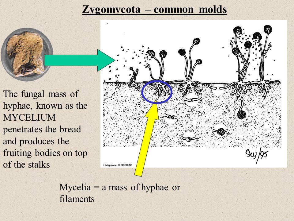 Zygomycota – common molds