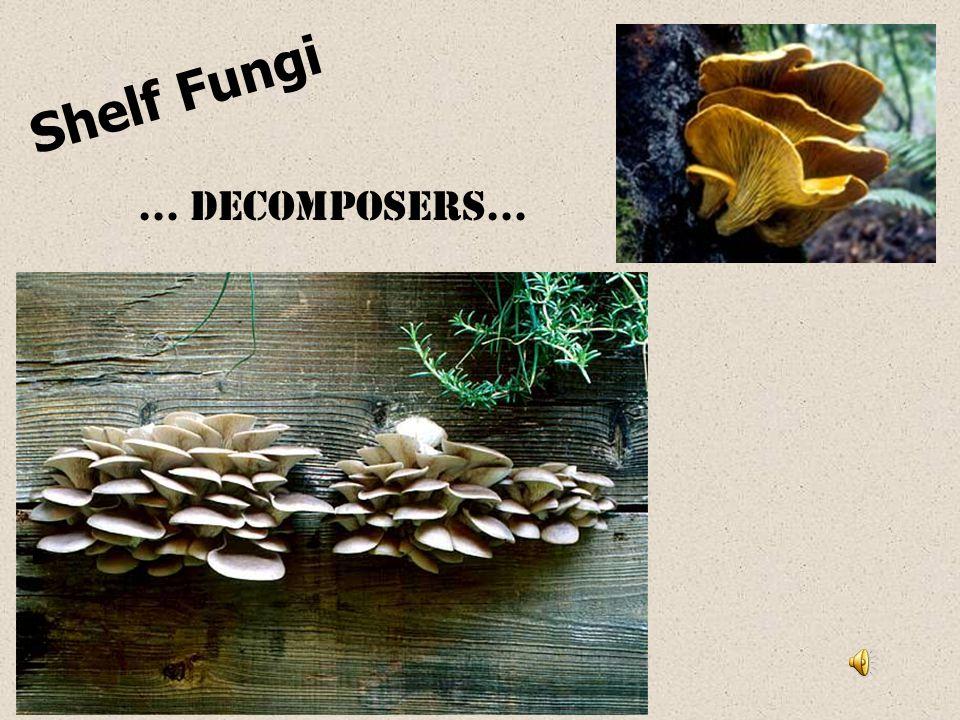 Shelf Fungi … decomposers…