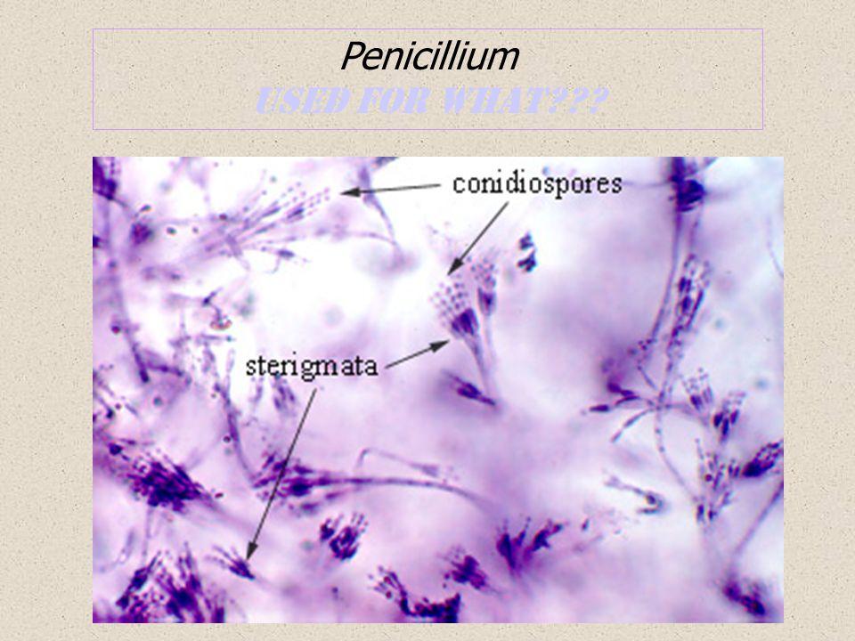 Penicillium used for what
