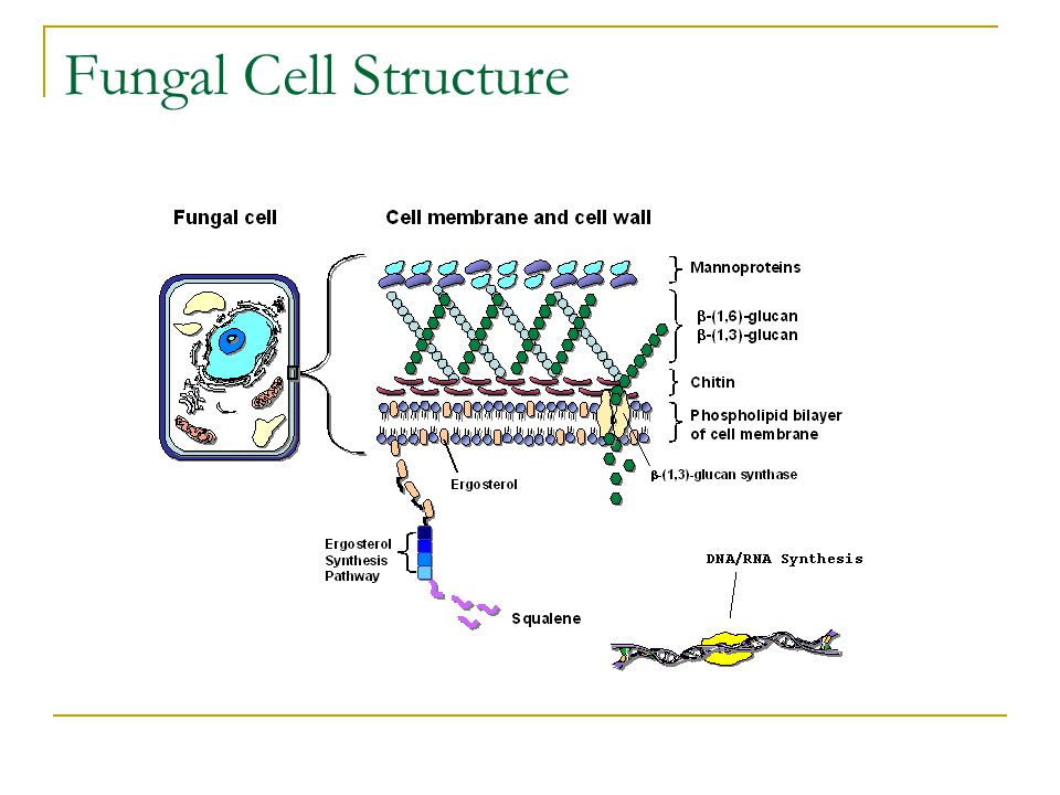Fungal Cell Structure