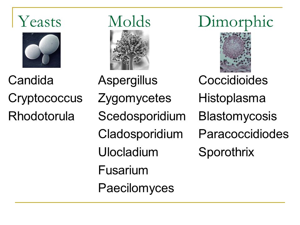 Yeasts Molds Dimorphic