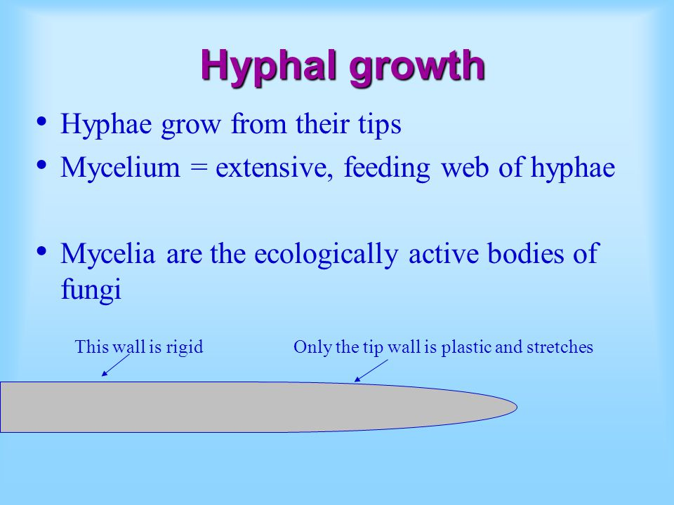 Hyphal growth Hyphae grow from their tips