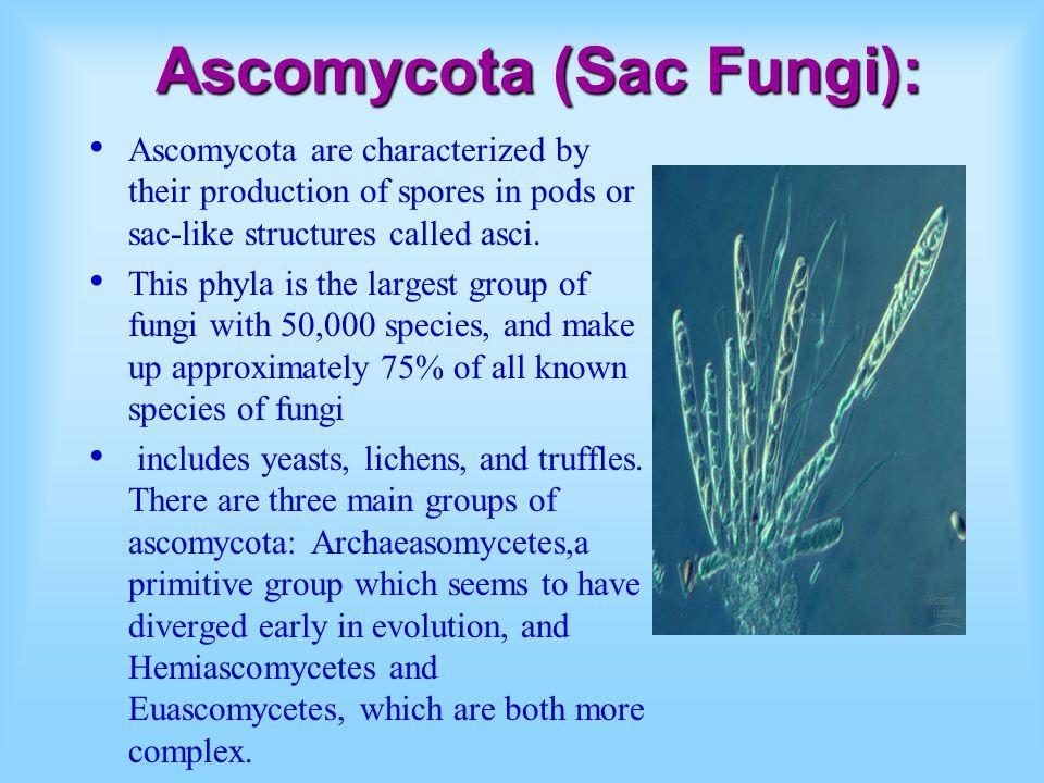 Ascomycota (Sac Fungi):
