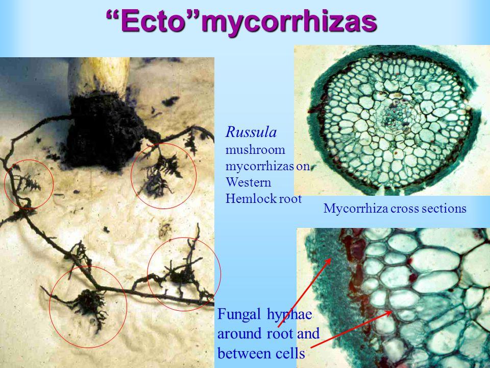 Ecto mycorrhizas Russula mushroom mycorrhizas on Western Hemlock root