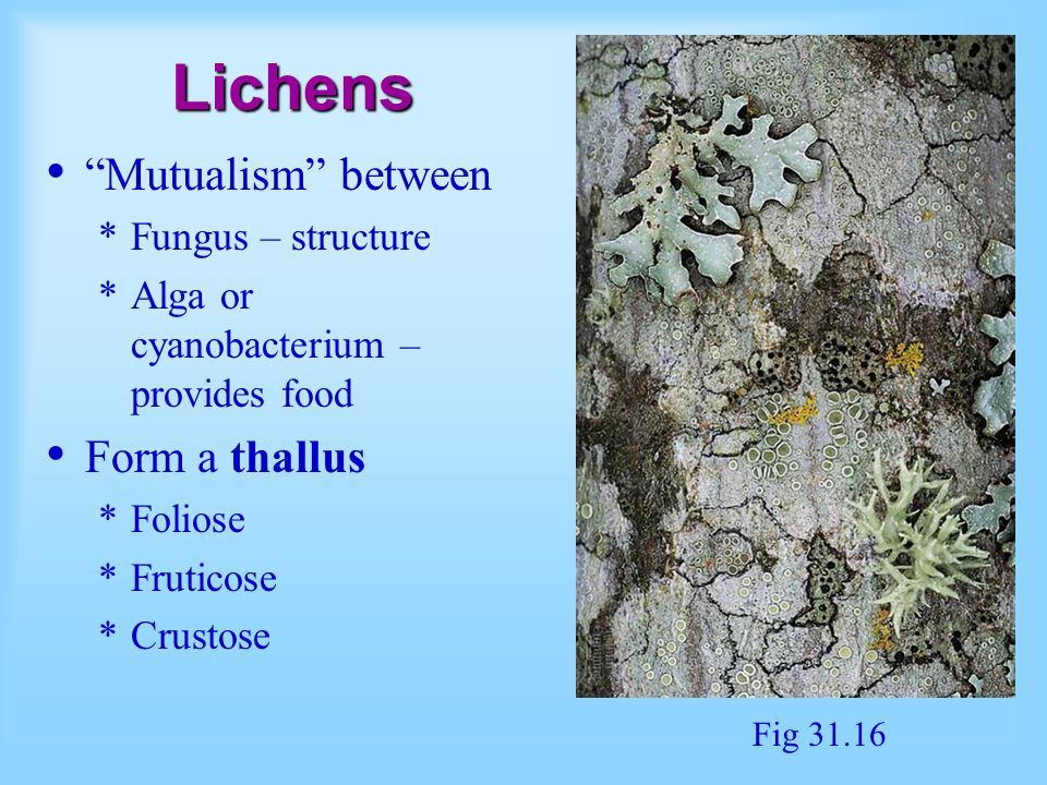 Lichens Mutualism between Form a thallus Fungus – structure