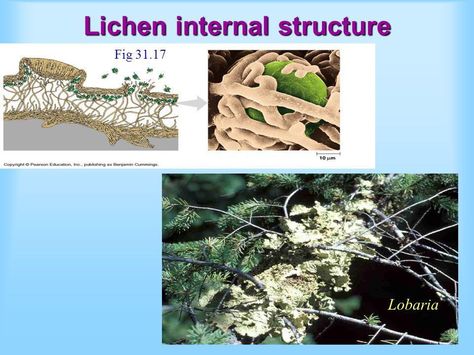 Lichen internal structure