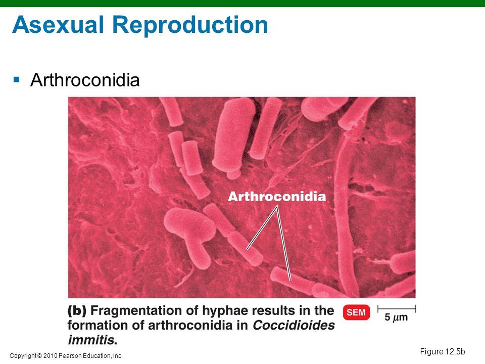 Asexual Reproduction Arthroconidia Figure 12.5b