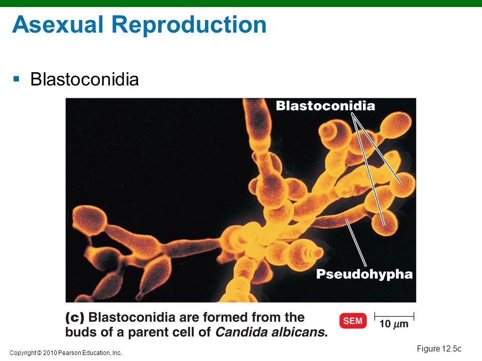 Asexual Reproduction Blastoconidia Figure 12.5c