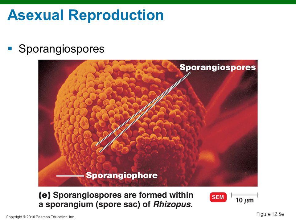 Asexual Reproduction Sporangiospores Figure 12.5e