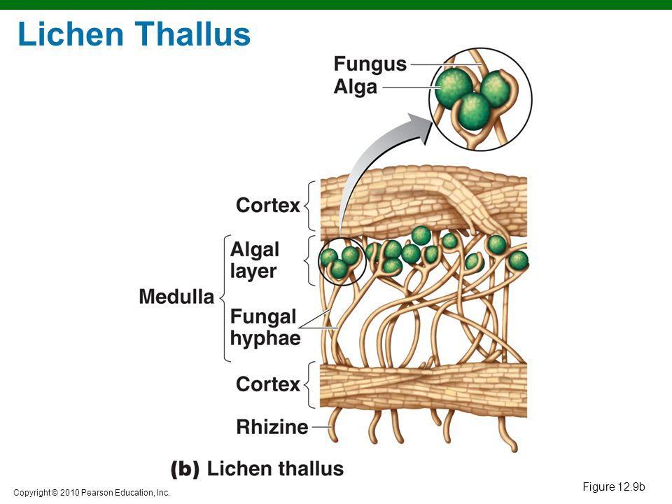 Lichen Thallus Figure 12.9b