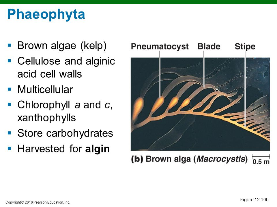 Phaeophyta Brown algae (kelp) Cellulose and alginic acid cell walls
