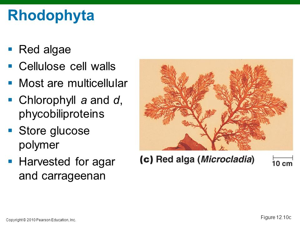Rhodophyta Red algae Cellulose cell walls Most are multicellular
