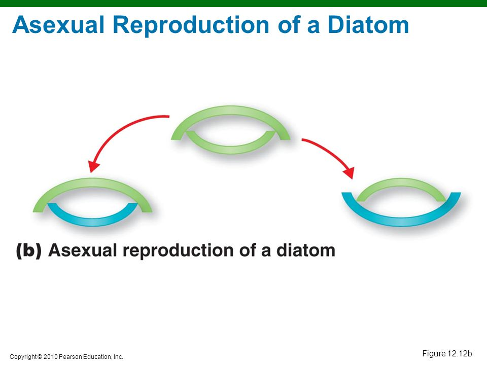 Asexual Reproduction of a Diatom