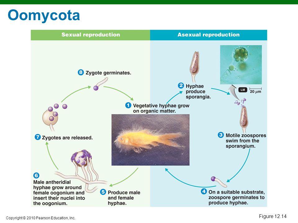 Oomycota Figure 12.14