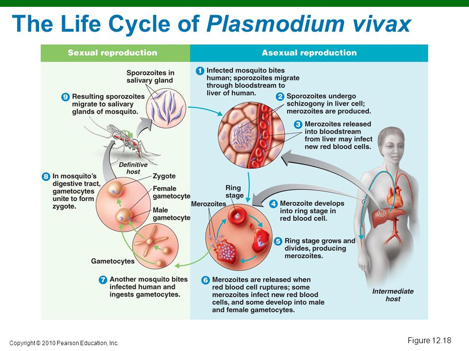 The Life Cycle of Plasmodium vivax