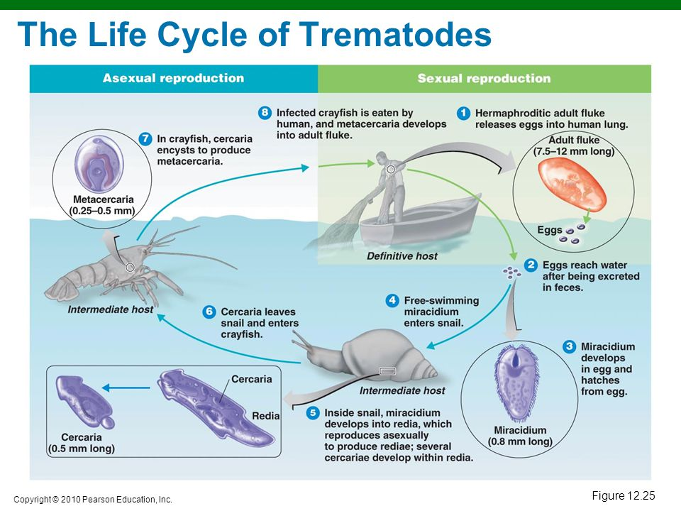 The Life Cycle of Trematodes