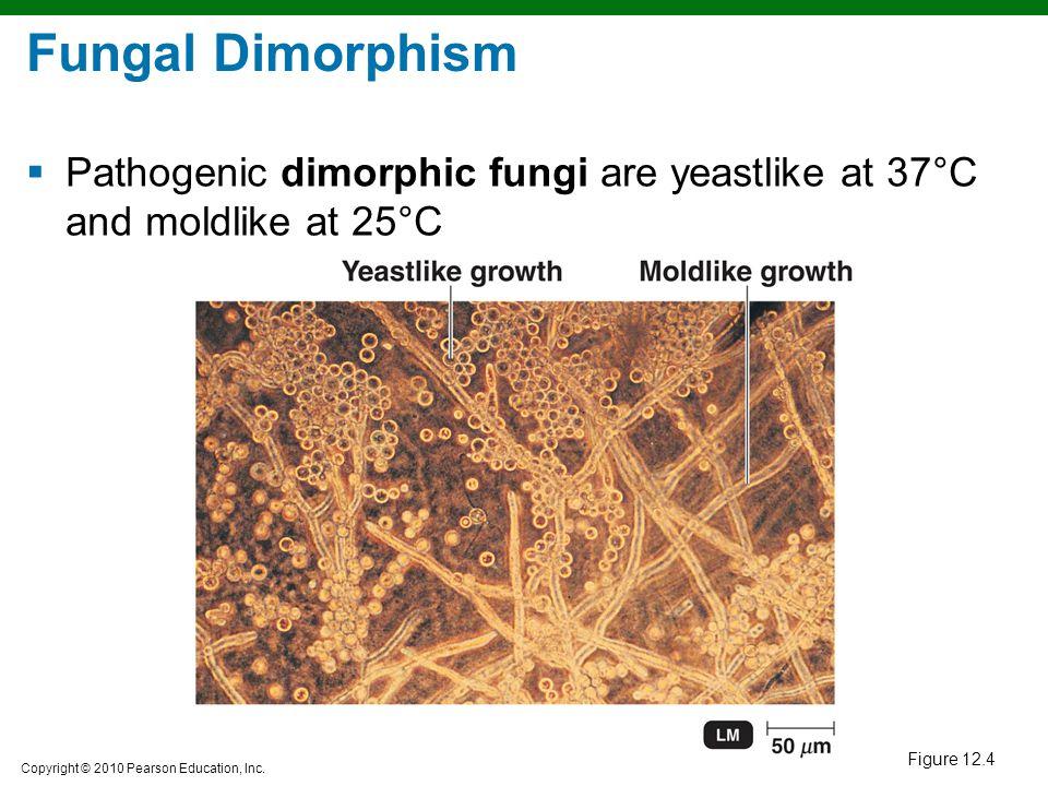 Fungal Dimorphism Pathogenic dimorphic fungi are yeastlike at 37°C and moldlike at 25°C Figure 12.4
