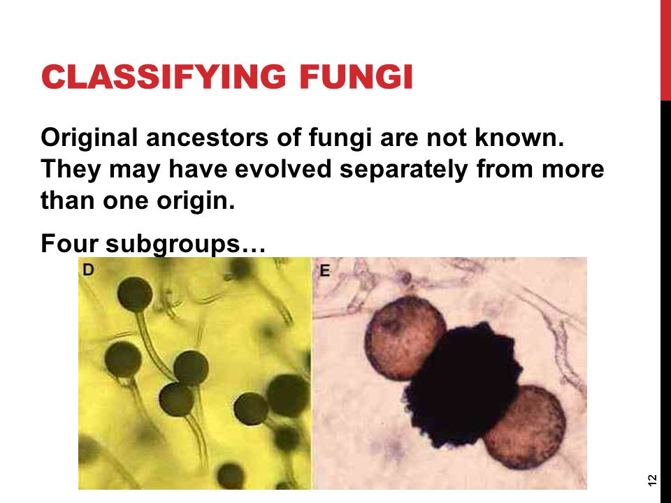 Classifying Fungi Original ancestors of fungi are not known. They may have evolved separately from more than one origin.
