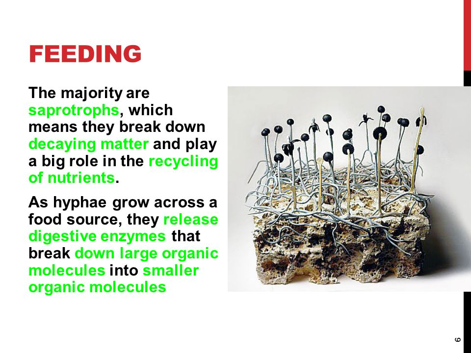 Feeding The majority are saprotrophs, which means they break down decaying matter and play a big role in the recycling of nutrients.