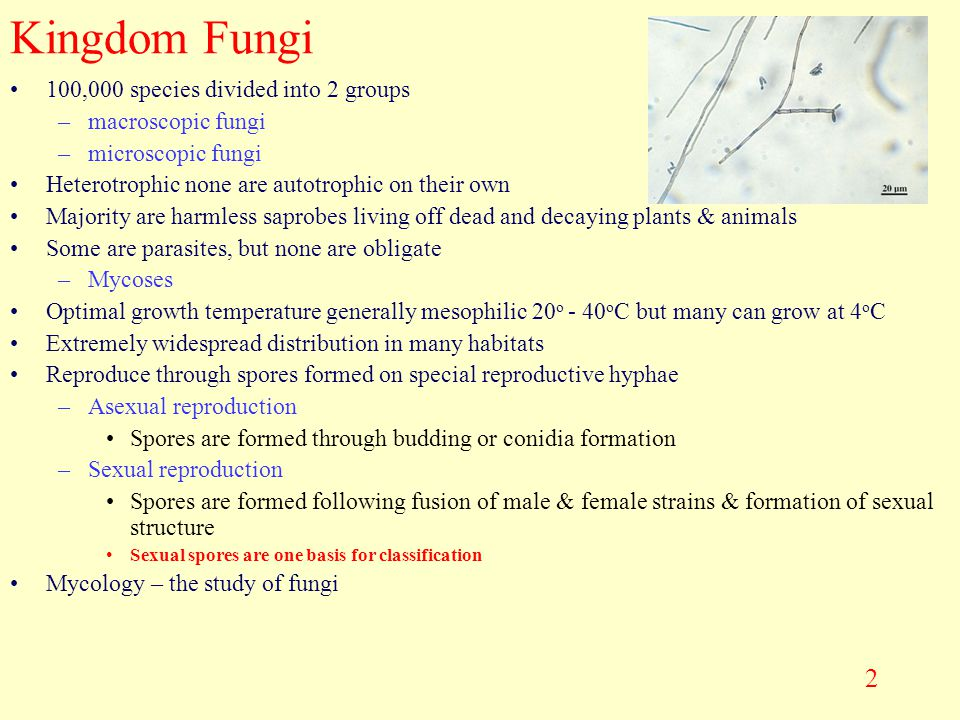 Kingdom Fungi 100,000 species divided into 2 groups macroscopic fungi