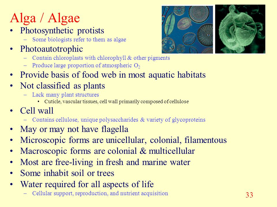 Alga / Algae Photosynthetic protists Photoautotrophic
