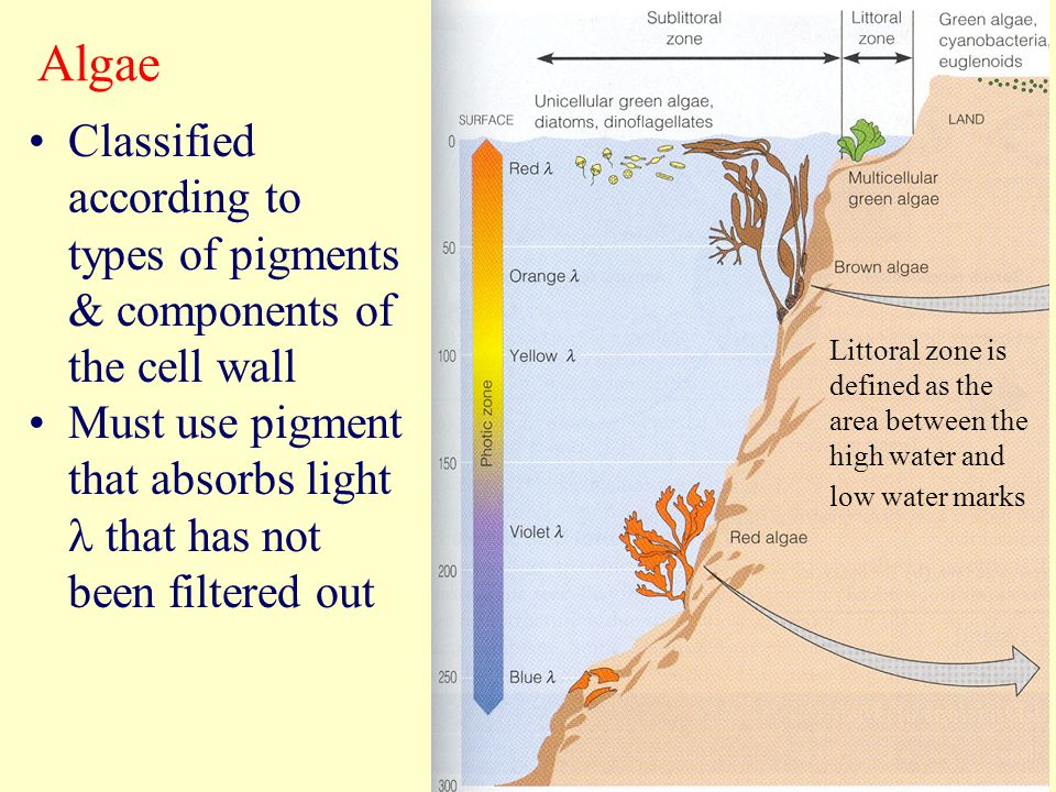 Algae Classified according to types of pigments & components of the cell wall. Must use pigment that absorbs light l that has not been filtered out.