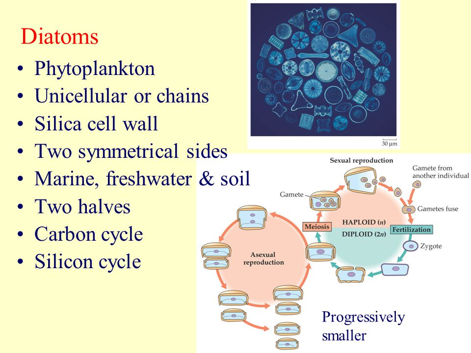 Diatoms Phytoplankton Unicellular or chains Silica cell wall